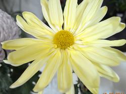 Yellow Marguerita