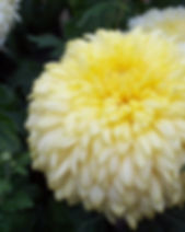 Yellow John Wingfield 1.JPG