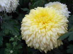 Yellow John Wingfield