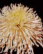 Donlopes White Spider 1.JPG