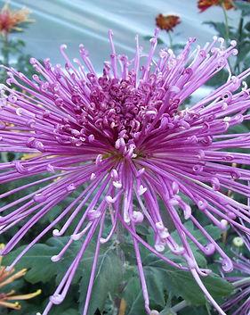 Fleur de Lis 2.JPG