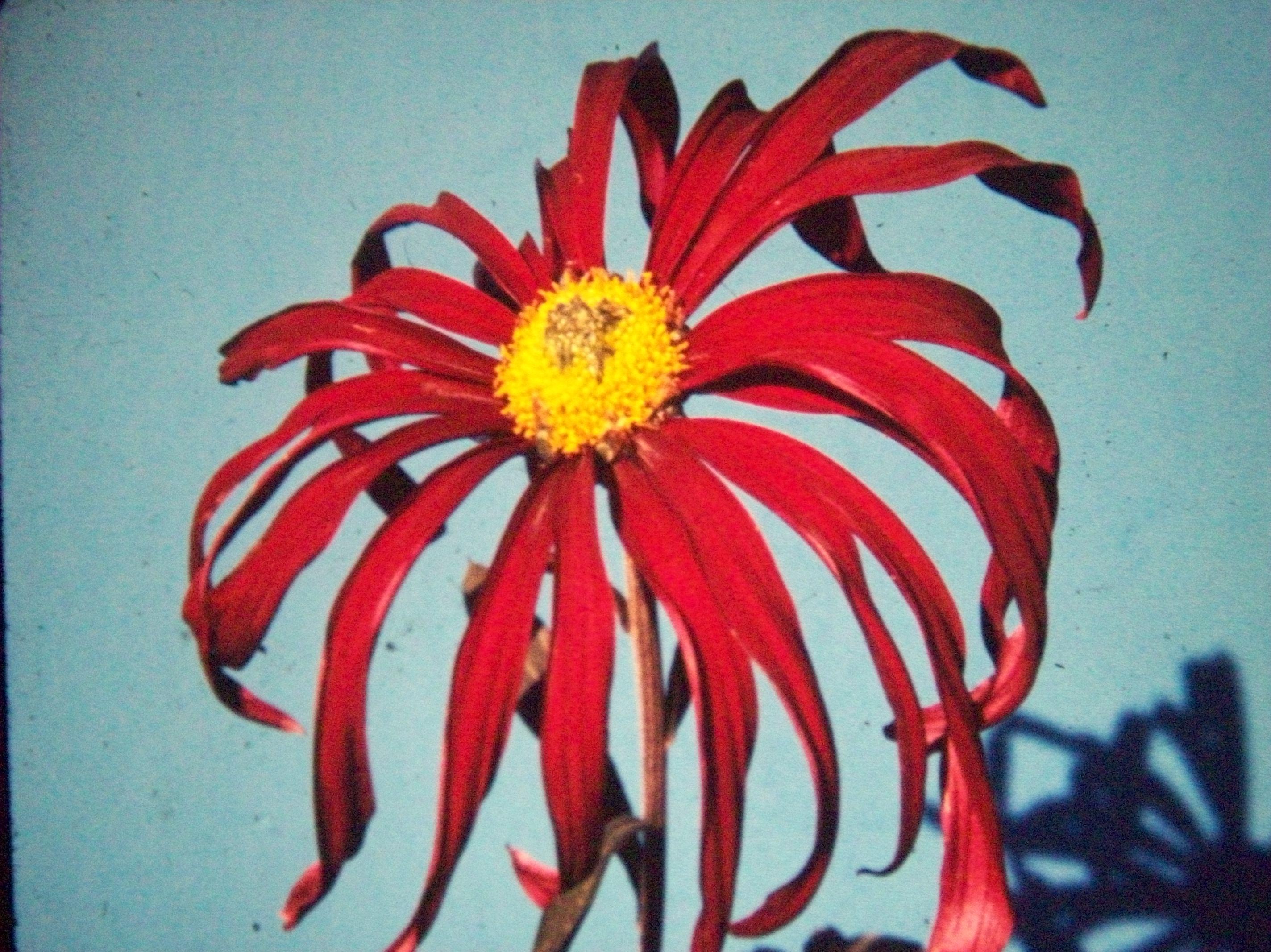 Garnet Queen