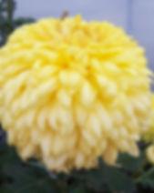 Yellow Courtier 1.JPG