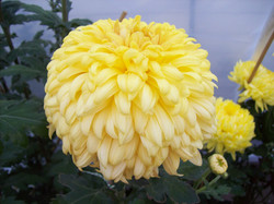 Yellow Courtier