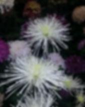 Fairy Lace 3.jpg