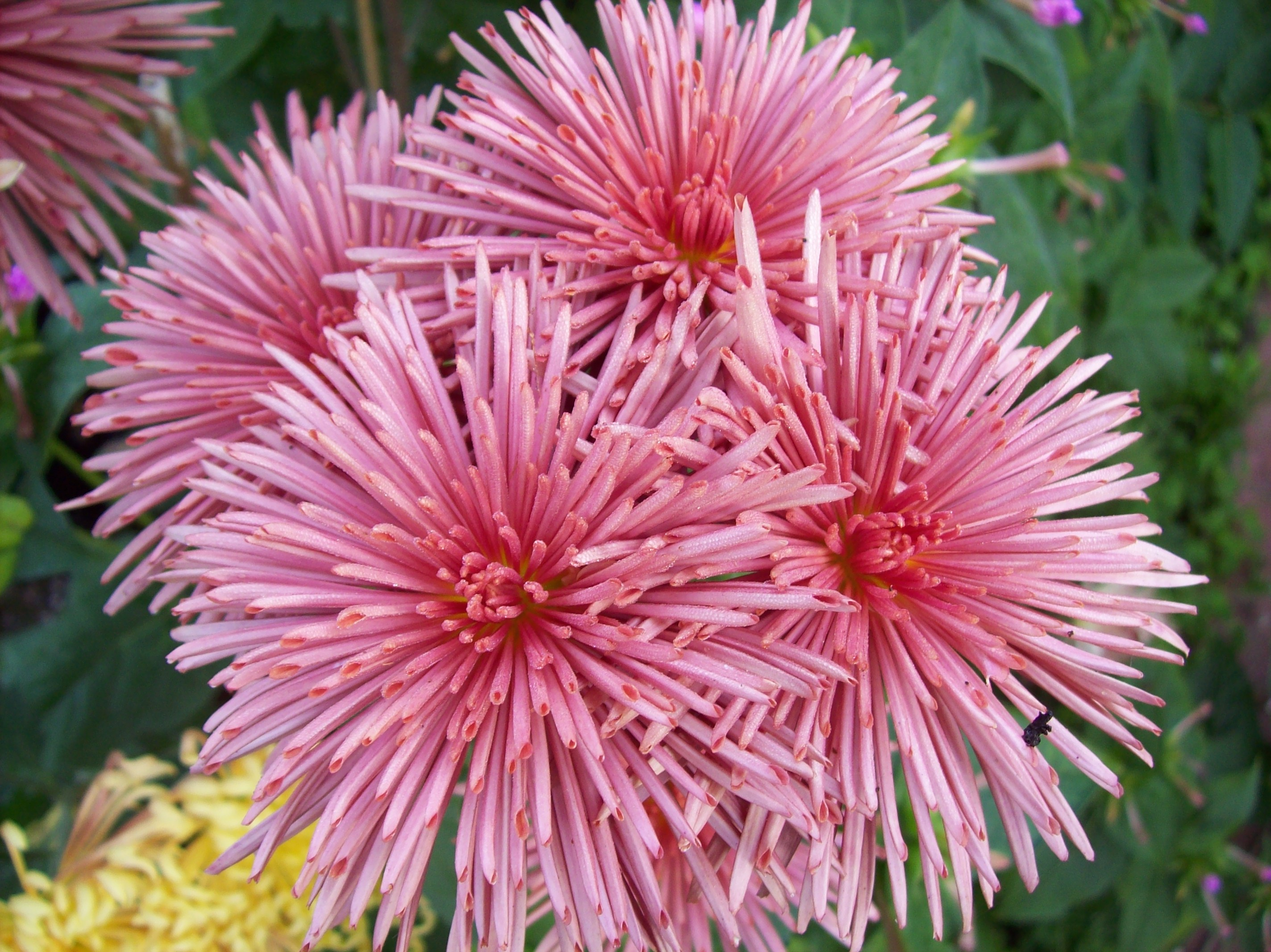Westland Pink