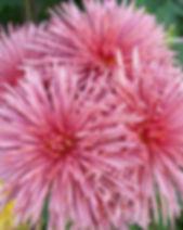 Westland Pink 1.JPG