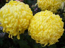 Yellow Gondolier