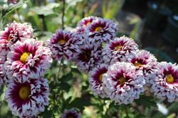 Orinoco Purple