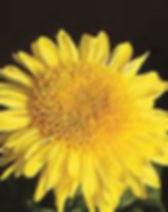 Cloverlea Sunshine 1.jpg