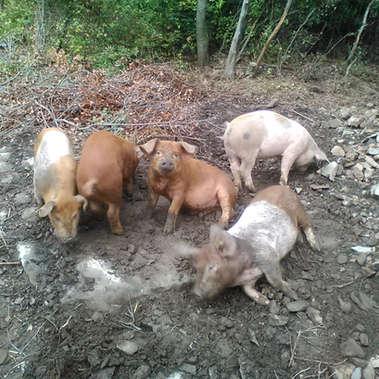 Le Mas Del Fray - élevage de cochons dans les Cévennes