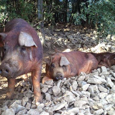Le Mas Del Fray - élevage de cochons