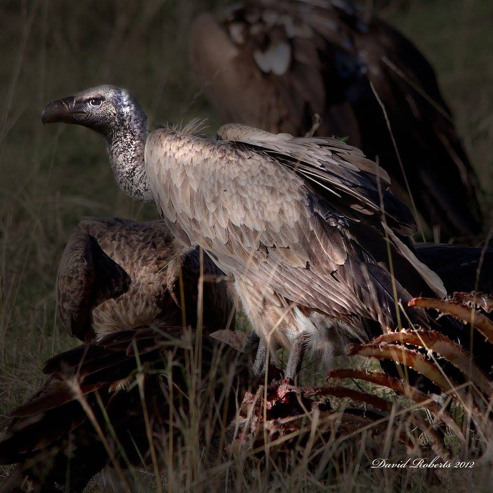 Vulture on Carcuss