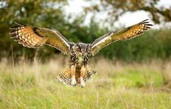 Hunting Eagle Owl