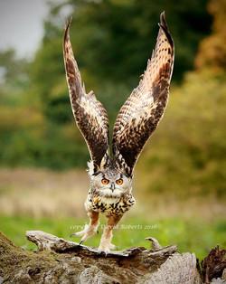 Eagle Owl Taking Off