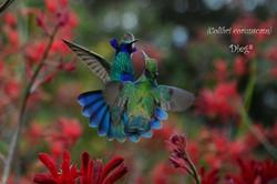 HUmmingbirds 26
