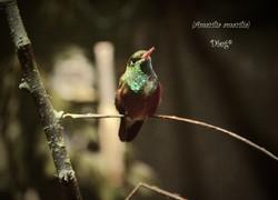 Hummingbirds 27