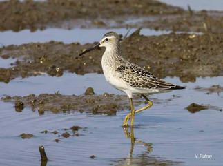 ¿Conoces algunas especies de aves que recorren grandes distancias durante su migración y que podemos