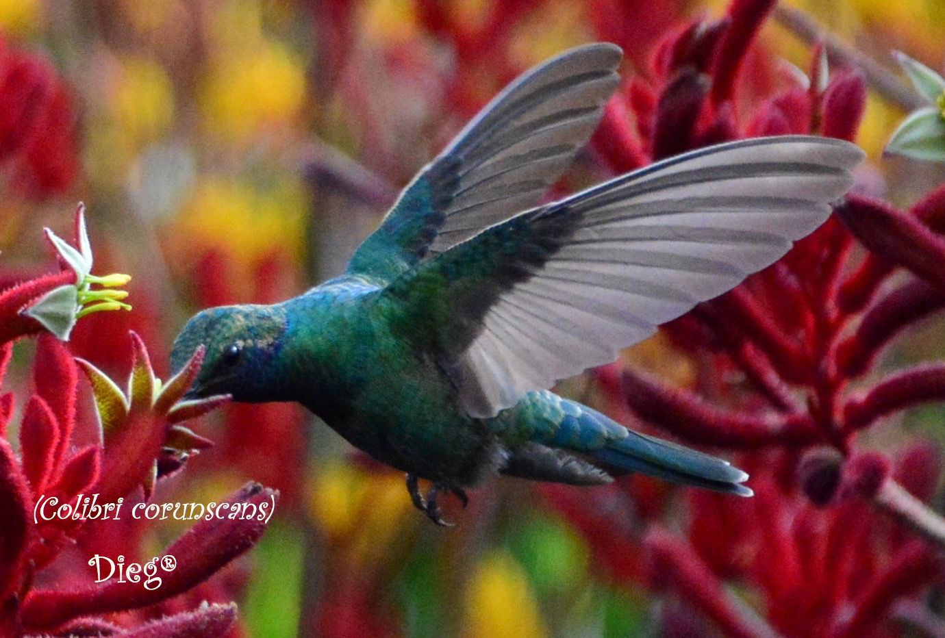 Hummingbirds 33
