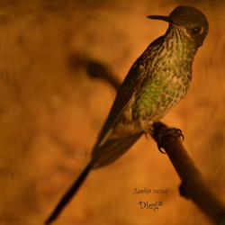 Hummingbirds 8