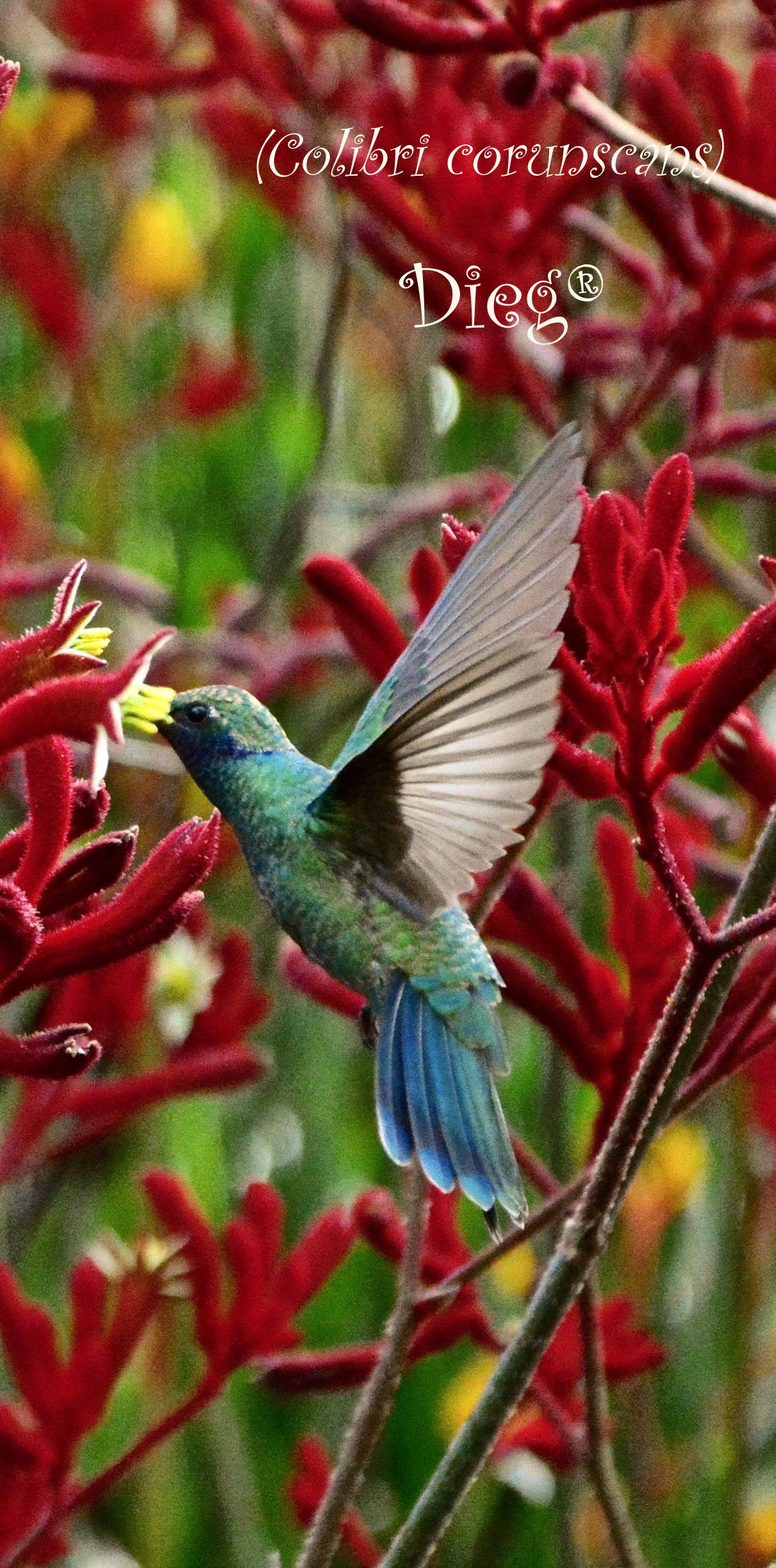 Hummingbirds 18