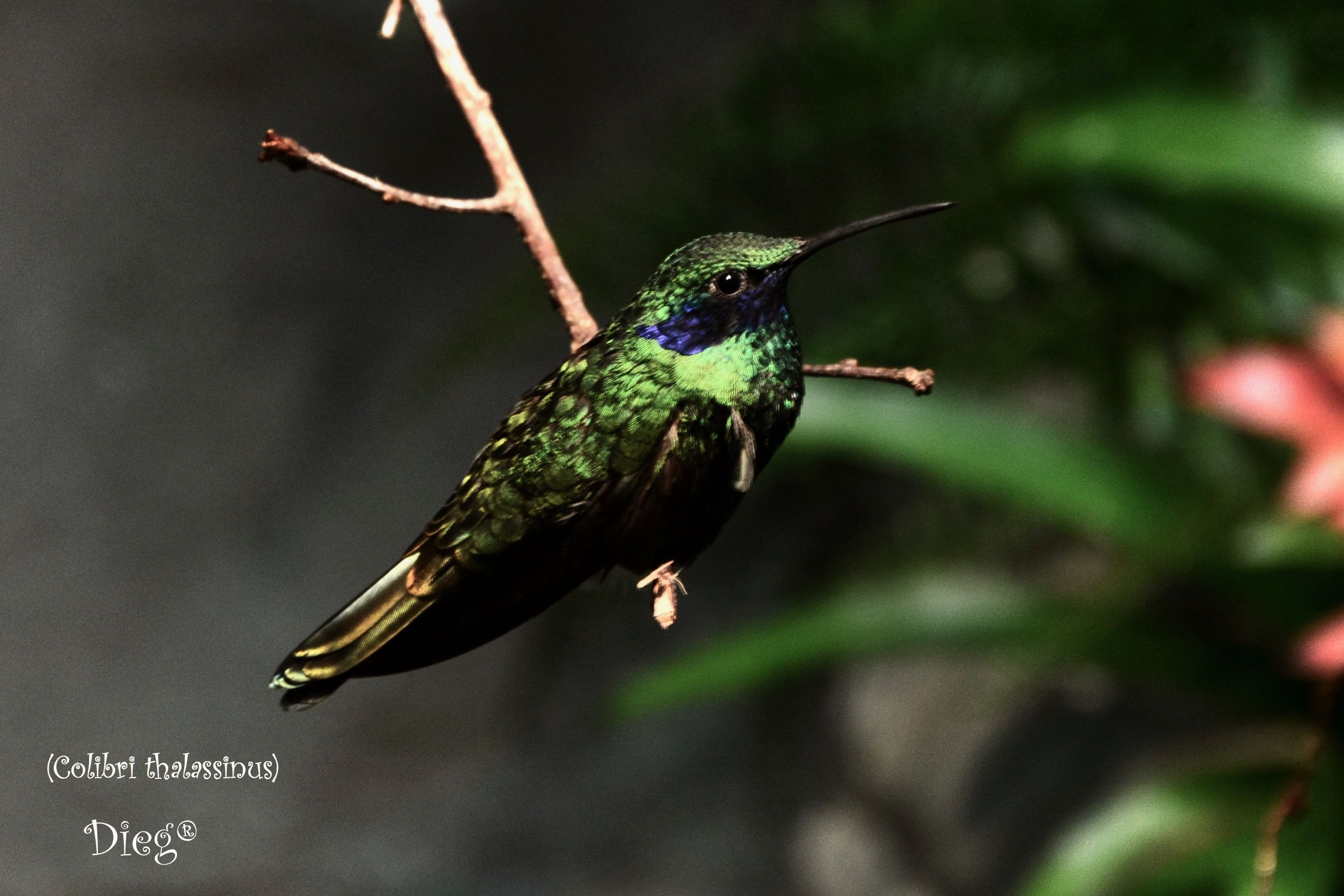 Hummingbirds 9