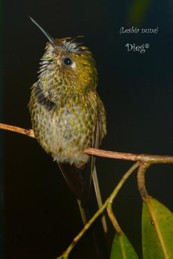 Hummingbirds 4