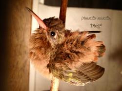 Hummingbirds 29