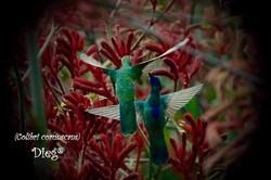 Hummingbirds 24