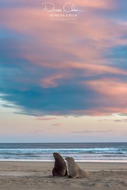 Sea_Lions_Catlins_South_Island_New_Zealand_©_Denesa_Chan_Photography_-3340