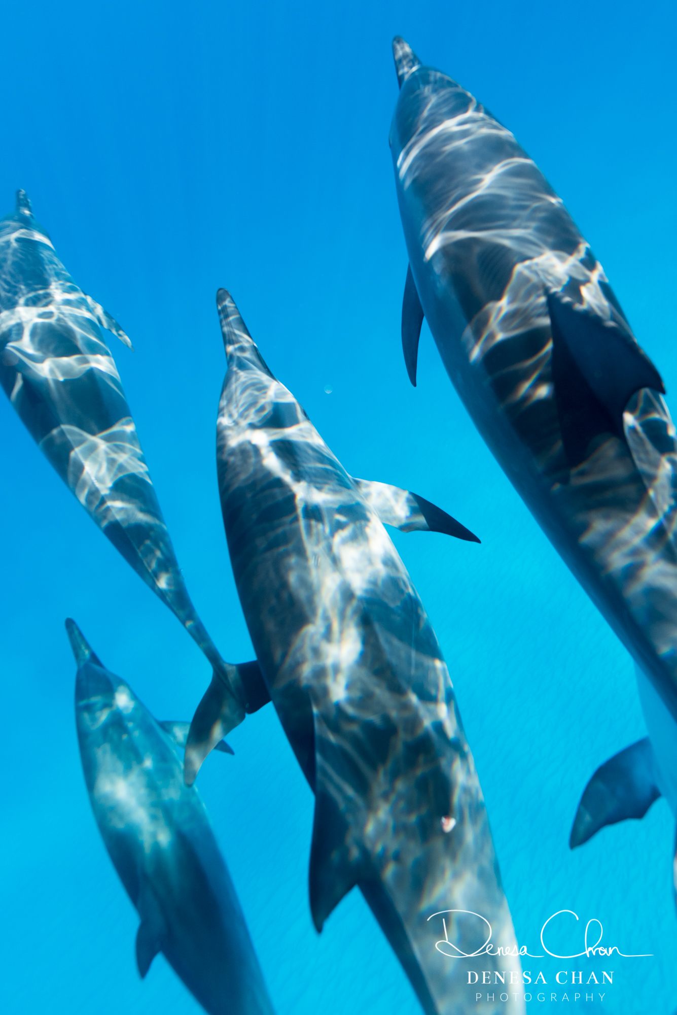 Spinner_Dolphins_Kona_Kailua_Hawaii_Big_Island_©_Denesa_Chan_Photography_-5952