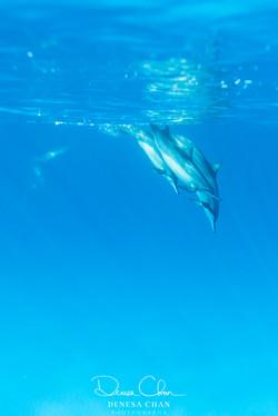 Spinner_Dolphins_Kona_Kailua_Hawaii_Big_Island_©_Denesa_Chan_Photography_THE_PLUNGE-5981