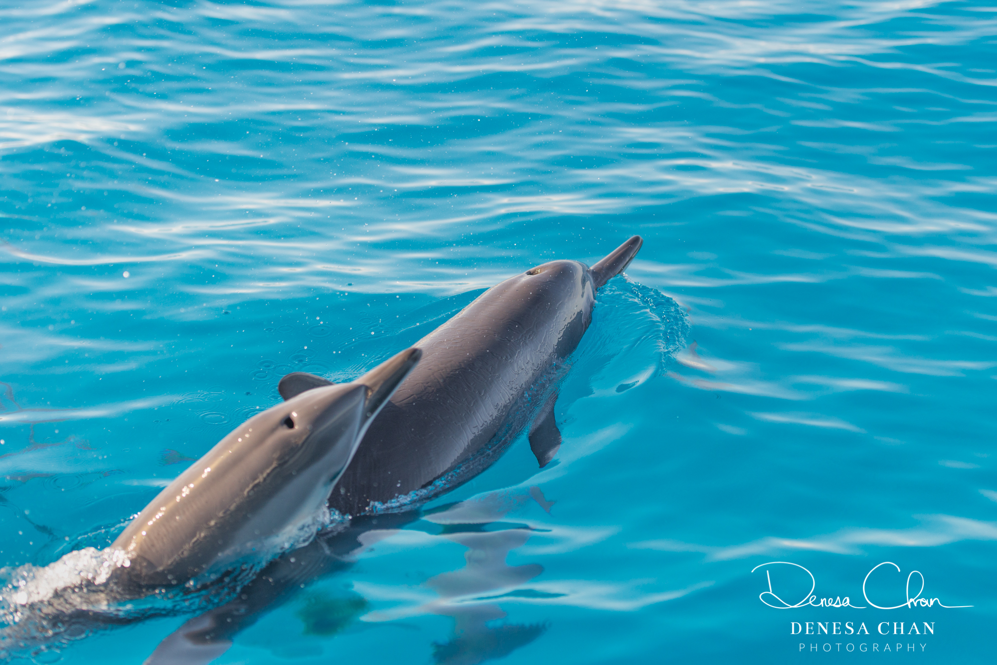 Spinner_Dolphins_Mother_Calf_Momma_Baby_Kona_Kailua_Hawaii_Big_Island_©_Denesa_Chan_Photography_MOTH