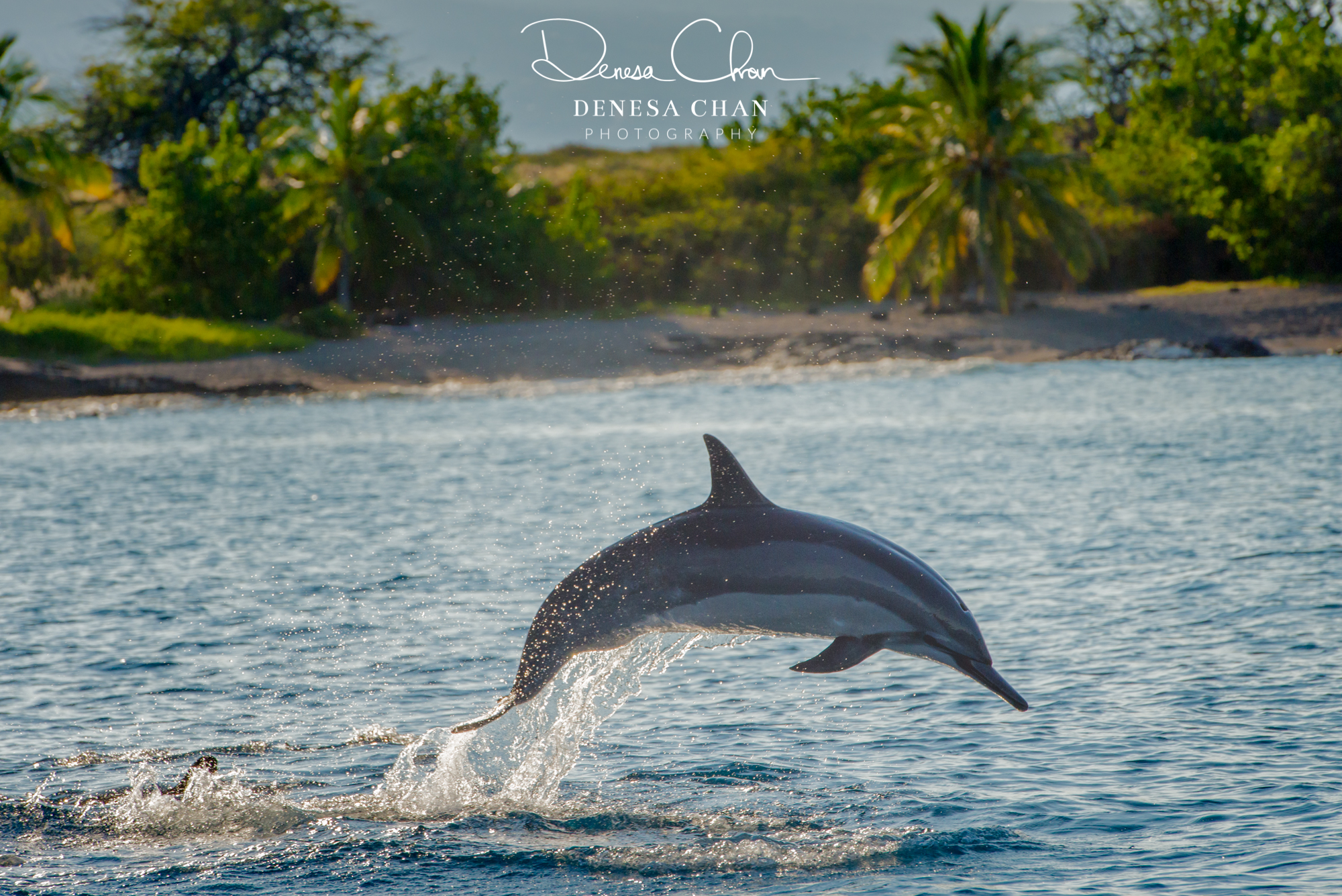 Spinner_Dolphin_Kona_Kailua_Hawaii_Big_Island_©_Denesa_Chan_Photography_LEAP-1173