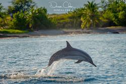 Spinner_Dolphin_Kona_Kailua_Hawaii_Big_Island_©_Denesa_Chan_Photography_LEAP-1173
