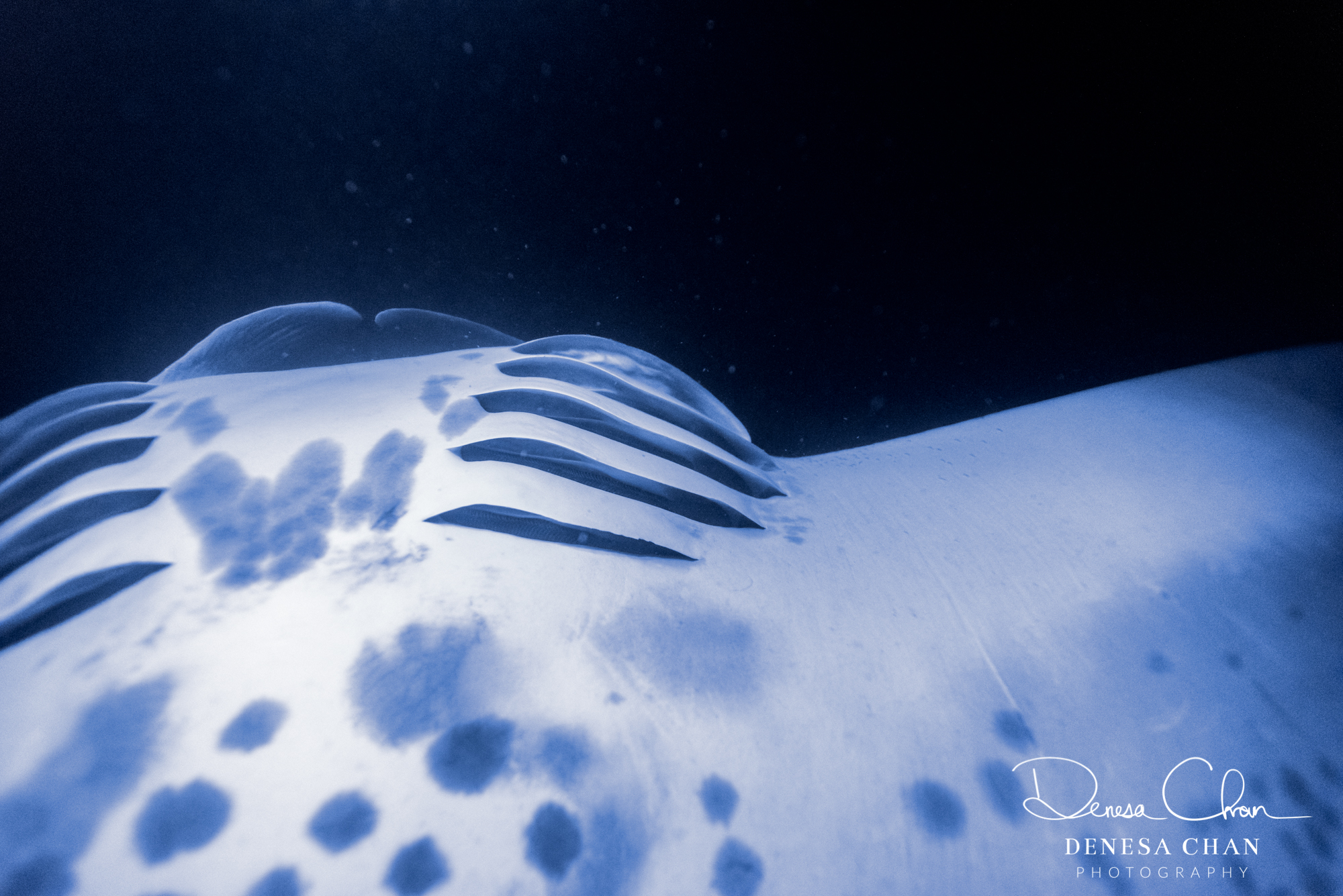 Manta_Ray_Hawaii_Big_Island_Kona_Night_©_Denesa_Chan_Photography-5324