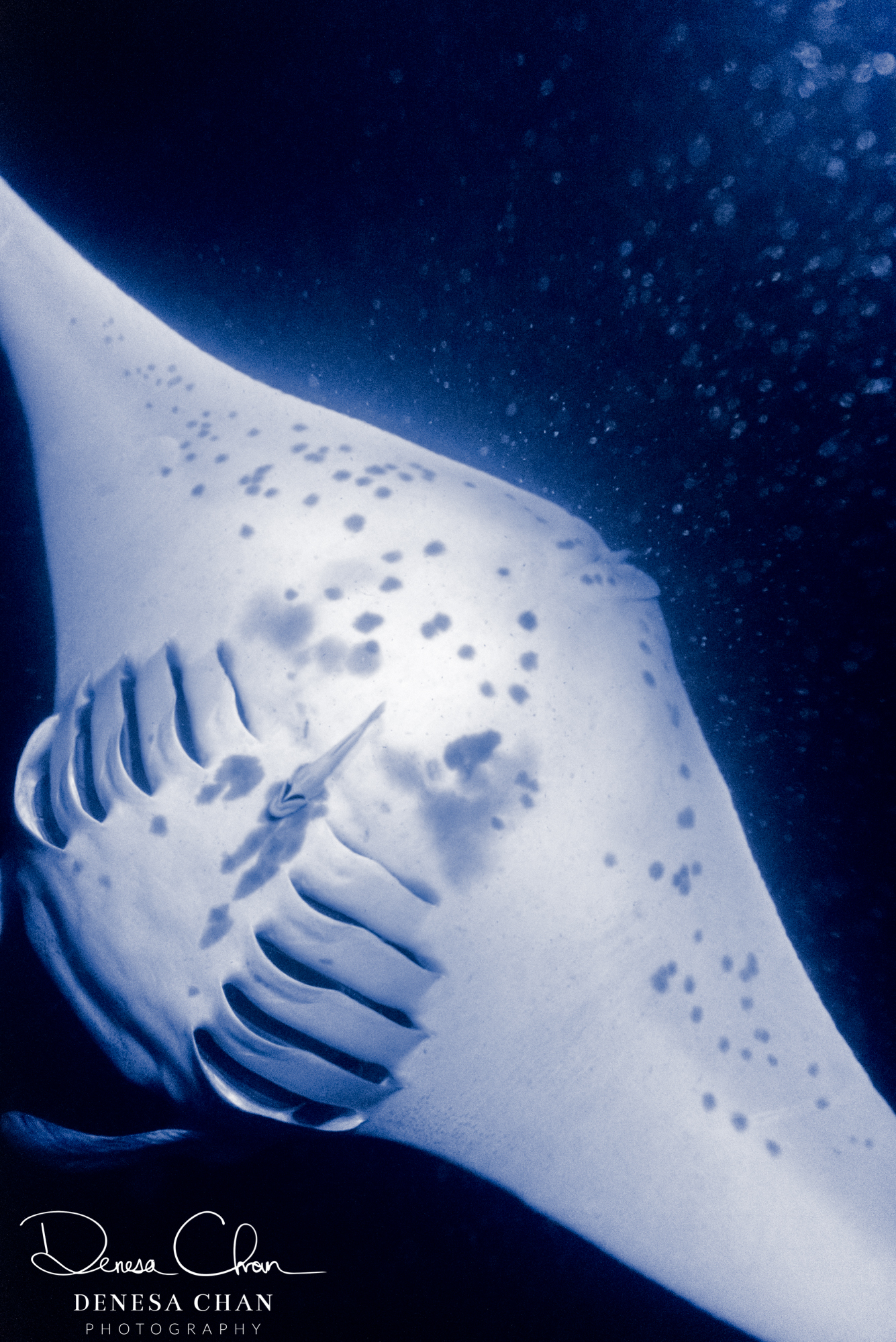Manta_Ray_Hawaii_Big_Island_Kona_Night_©_Denesa_Chan_Photography-5499