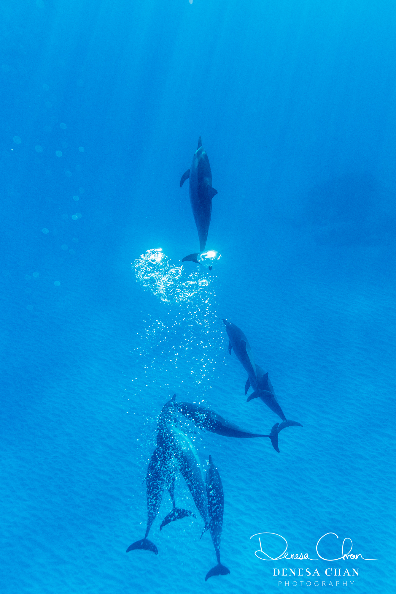 Spinner_Dolphins_Kona_Kailua_Hawaii_Big_Island_©_Denesa_Chan_Photography_ASCEND-6028