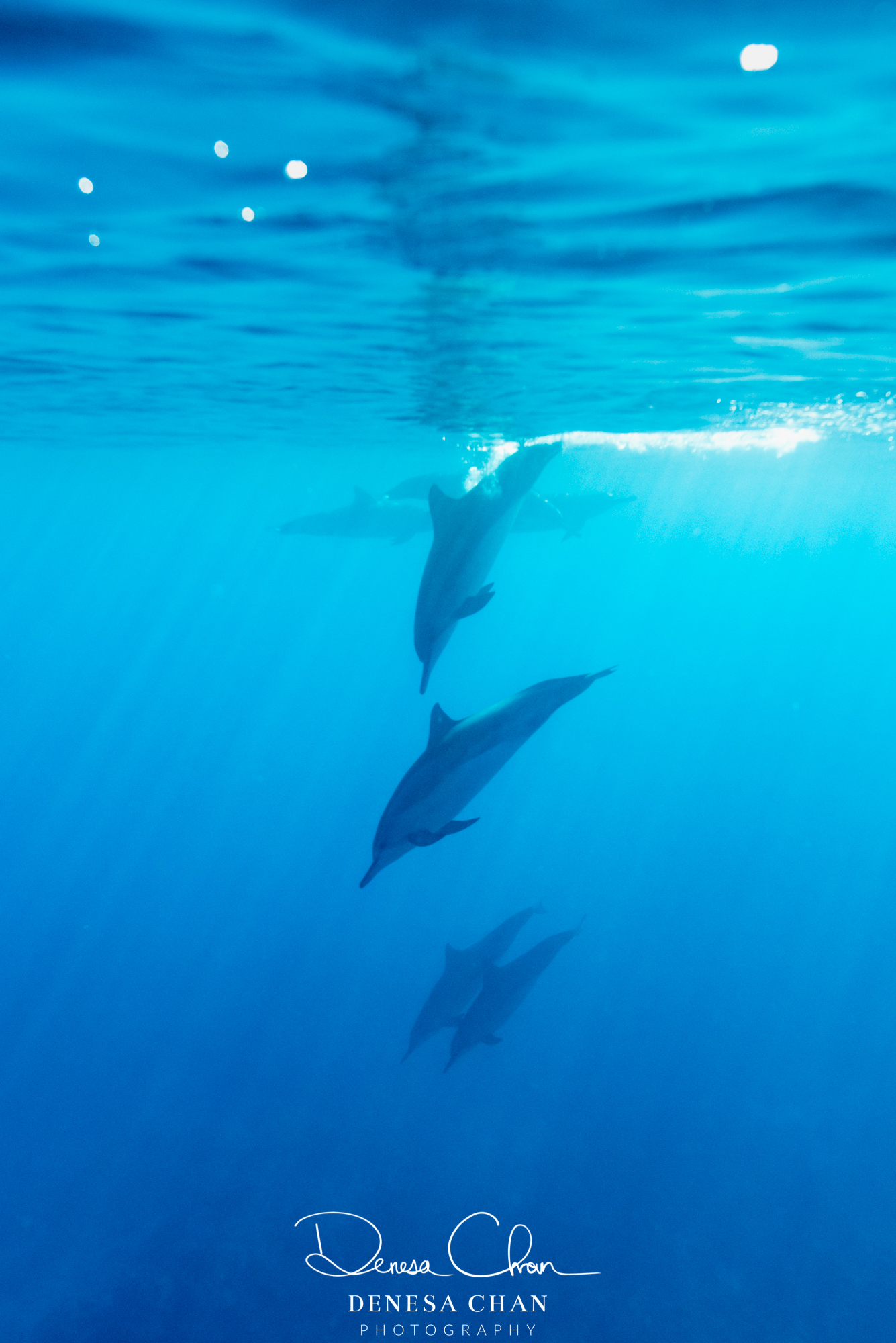 Spinner_Dolphins_Kona_Kailua_Hawaii_Big_Island_©_Denesa_Chan_Photography_ALIGNMENT_-6156