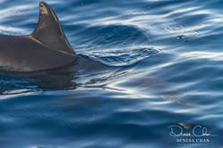 Spinner_Dolphin_Kona_Kailua_Hawaii_Big_Island_©_Denesa_Chan_Photography-1143