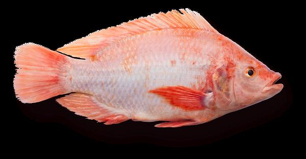 fisk-copy-3_edited.png