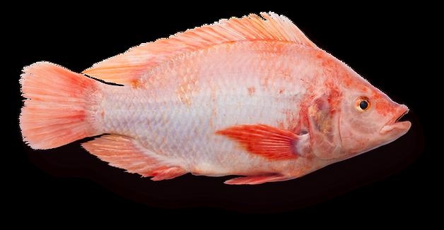 fisk-copy-3_2x.png