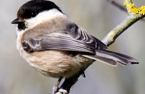 A willow tit, one of the key factors for the Dearne Valley Wetlands being recognised as a SSSI. Picture by Geoff Carr