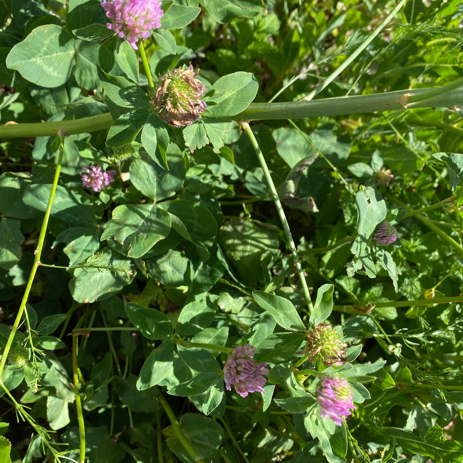 Wholesale Red Clover Herb