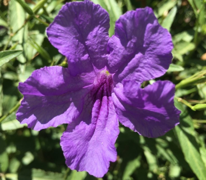 Close Up Mexican Petunia Flower