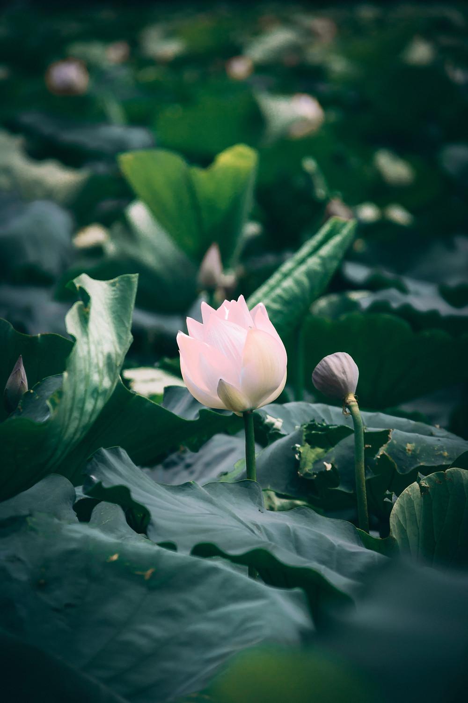 Sacred Plant Co American Lotus