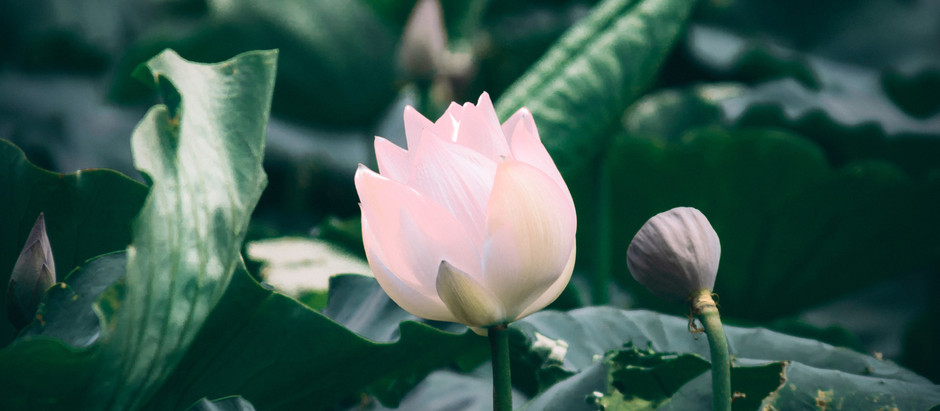 How To Grow American Lotus From Seeds