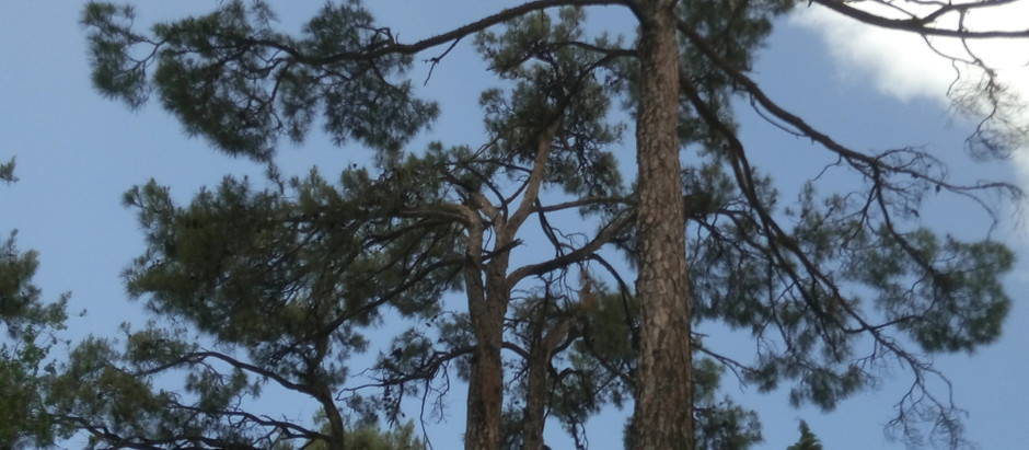 How to Grow Eastern White Pine Trees from Seed!