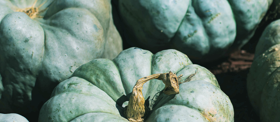 How to Grow Blue Doll Blue Pumpkins from Seed!