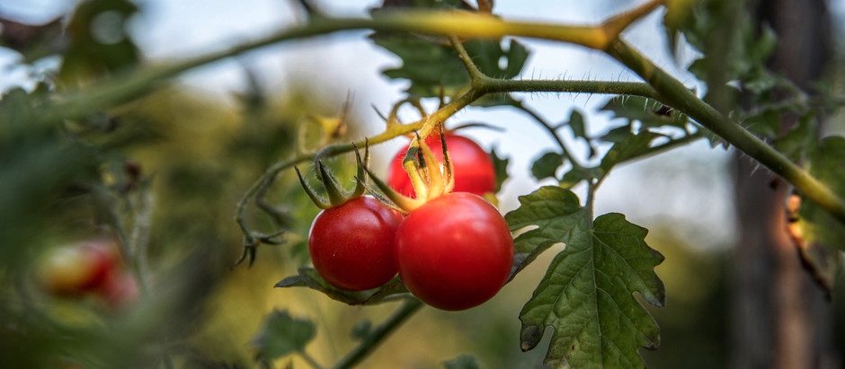 How to Grow Sugar Lump Tomatoes From Seeds